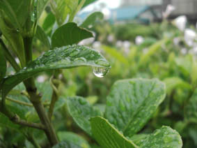 梅雨の雨の雫の画像