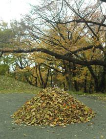 大量の落ち葉