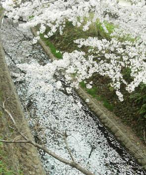 川面の桜満開の画像