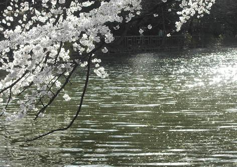 桜と水面と太陽と風の画像