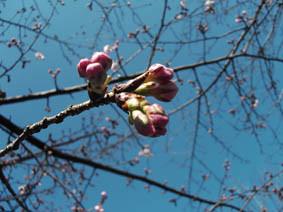 桜の蕾の画像