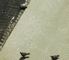 亀の大きさ(鳩と比較)の画像