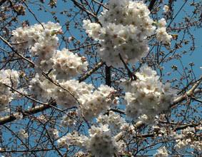 初々しい緑の桜の画像