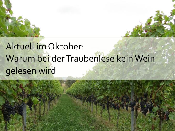 Aktuell im Oktober: Warum bei der Traubenlese kein Wein gelesen wird