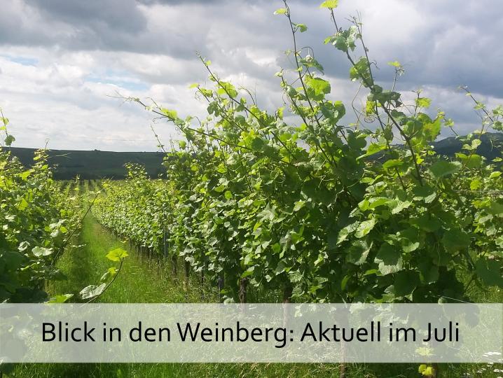 Blick in den Weinberg im Juli: Es grünt so grün wenn Deutschland Reben… wachsen