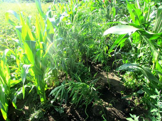 Та сама конопля і та сама кукурудза. Фото - pl.npu.gov.ua
