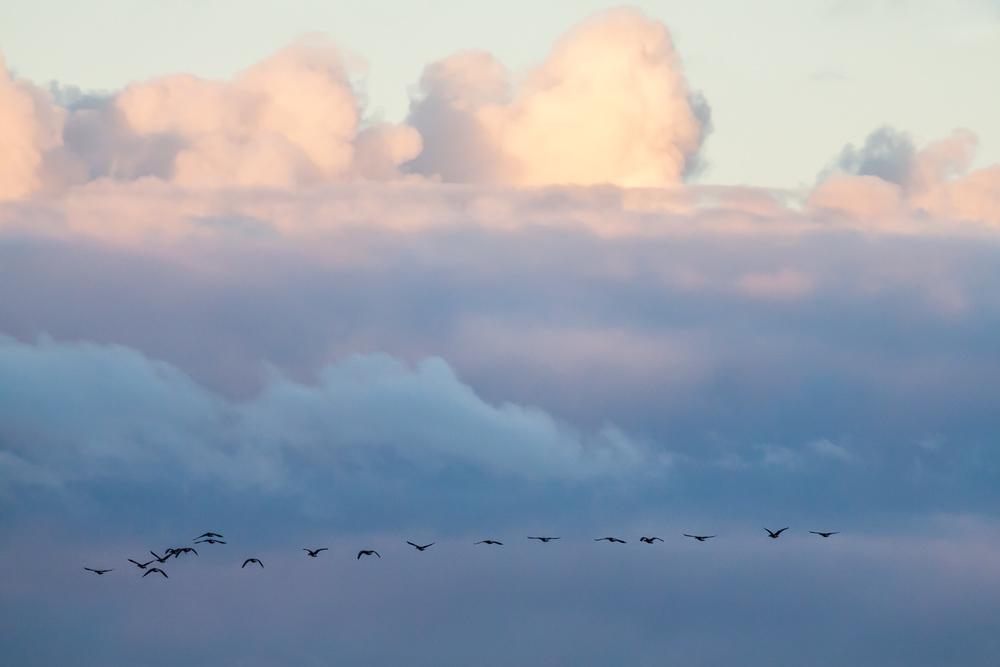 Vogelzug Zugvögel