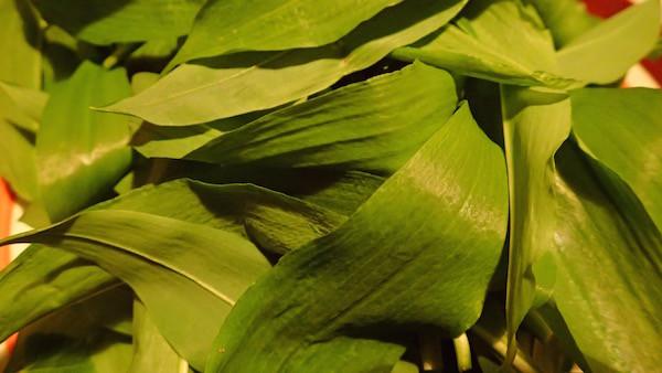 Bärlauchblätter, saftig grün