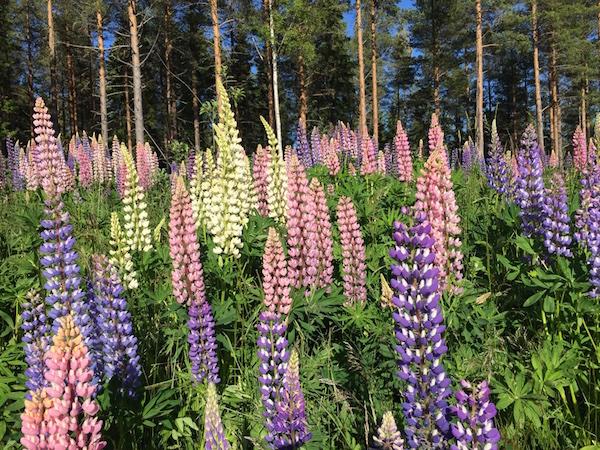 Lila, rosa und gelbe Lupinen vorm Wald, Schweden