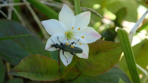 Siebenstern Blüte mit Käfer