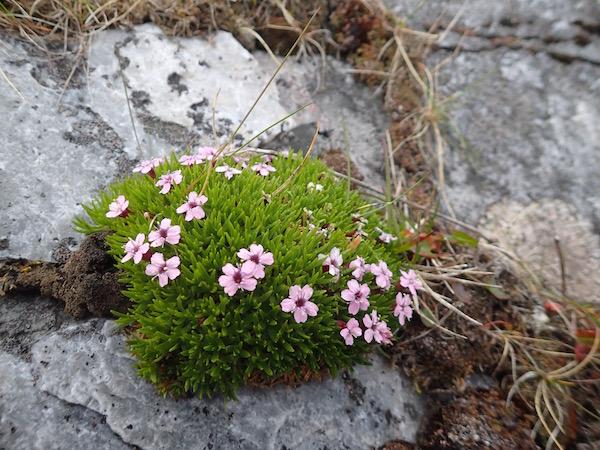 Rosa Blümchen auf Steinen