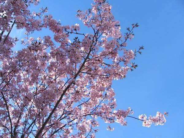 Kirschblüten, Frühling in Schweden