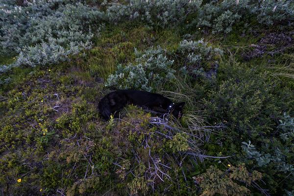 Hund im Gebüsch, Kebnekaise