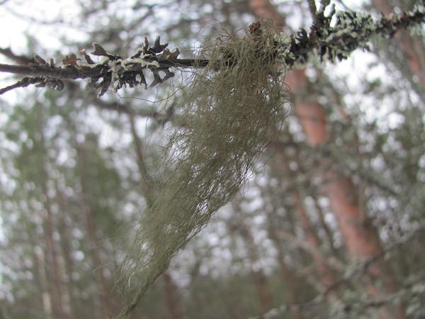 Rentierflechte, Fulufjället Nationalpark, Dalarna, Schweden