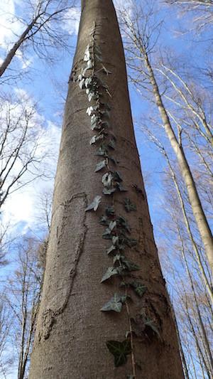 Efeu am Baum rankend