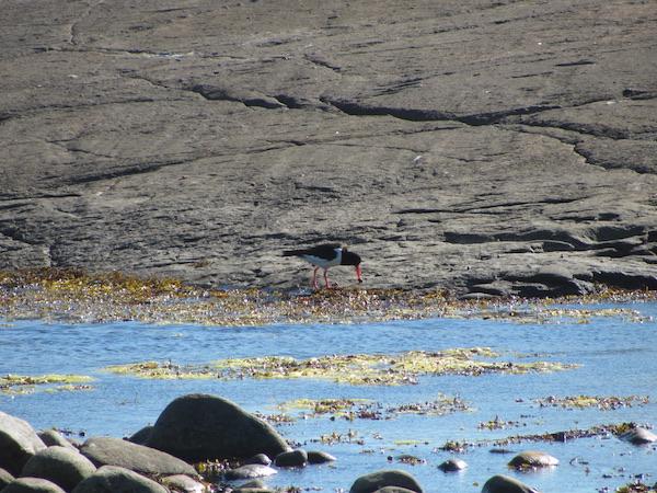 Austernfischer pickt Schnecke, Westschweden
