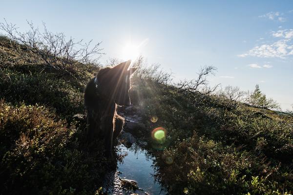 Hündin in Schweden, gegen die Sonne fotografiert.