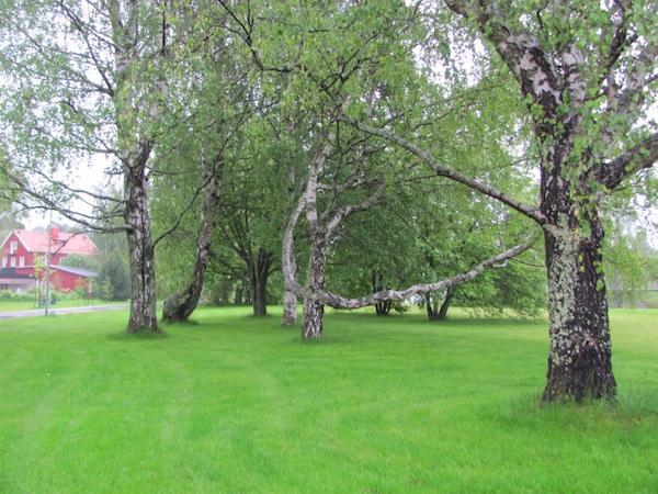 Verwachsene Birken auf grüner Wiese in Umeå in Schweden