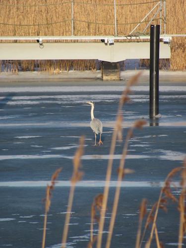Reiher auf dem zugefrorenen Ryck bei Greifswald.