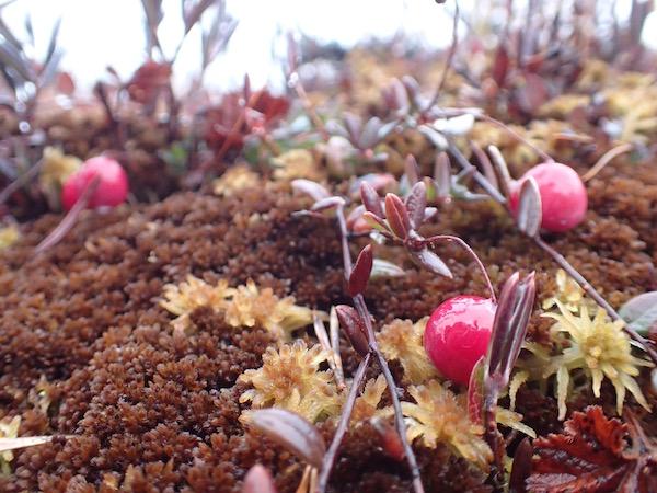 Moosbett im Moor mit roten Moosbeeren in Schweden