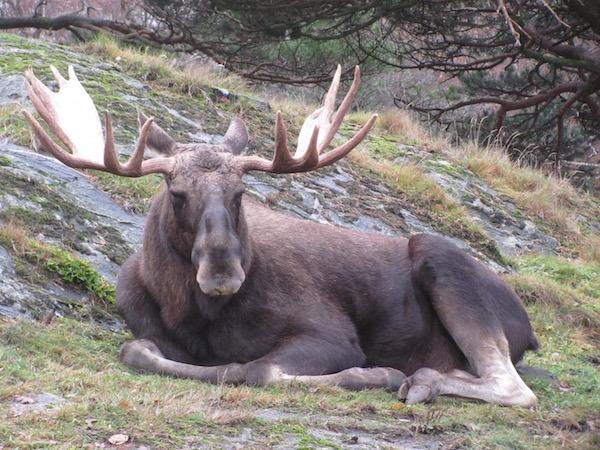 Elch, Schweden