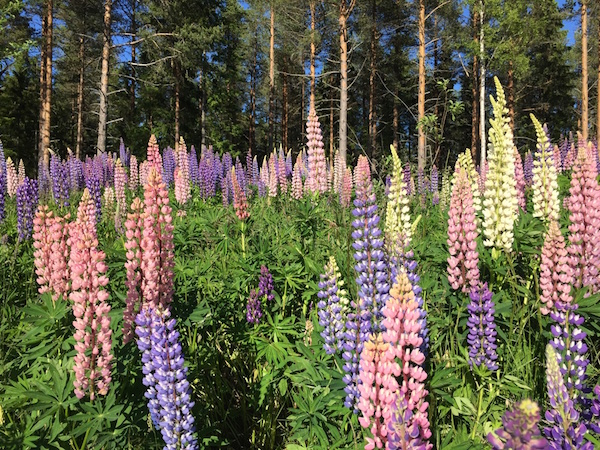 Lupinen, Sommer in Schweden