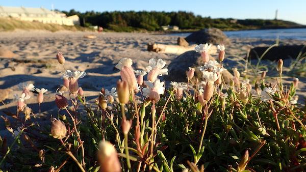 Zarte rosa Blümchen am Sandstrand, Westschweden
