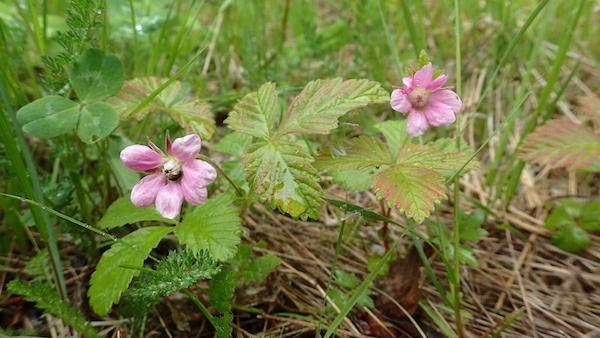 Rosa Blüte der Ackerbeere (Åkerbär)