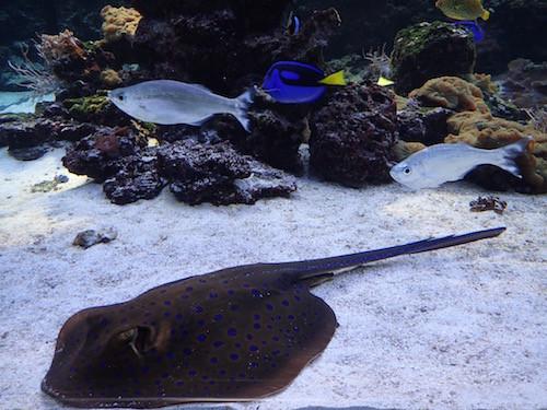 Rochen und Fische im Meeresmuseum in Stralsund