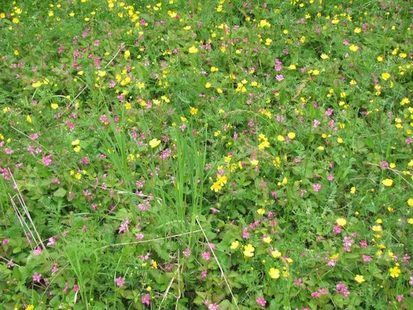 Schwedische Wildblumenwiese im Frühjahr