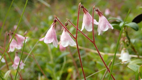 rosa Blüten der Linnea, Moosglöckchen, Schweden