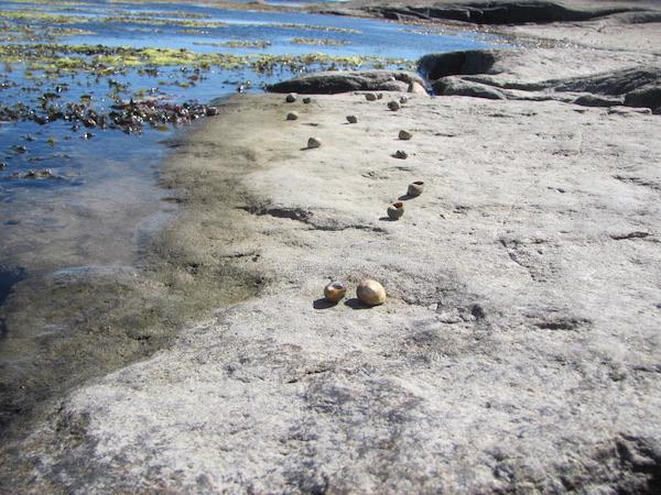 Ein Austernfischer hat eine Spur aus leeren Schneckenhäusern hinterlassen