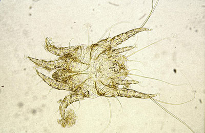 Otodectes cynotis mâle