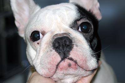 Dermatite atopique chez un chien de race Bouledogue : Lésions faciales