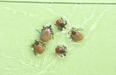 Tiques appartenant à l'espèce Ixodes ricinus