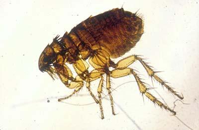 Photo 1: Puce appartenant à l'espèce Ctenocephalides felis