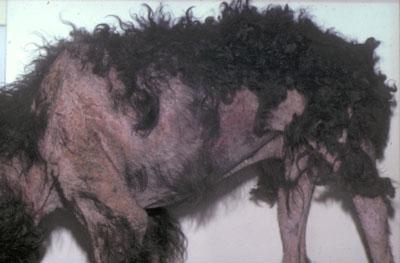 Un traitement de la gale sarcoptique du chien doit être mis en place rapidement