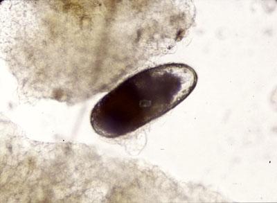 Œuf d'Otodectes cynotis