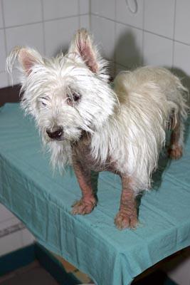 Dermatite chez un chien de race Westie