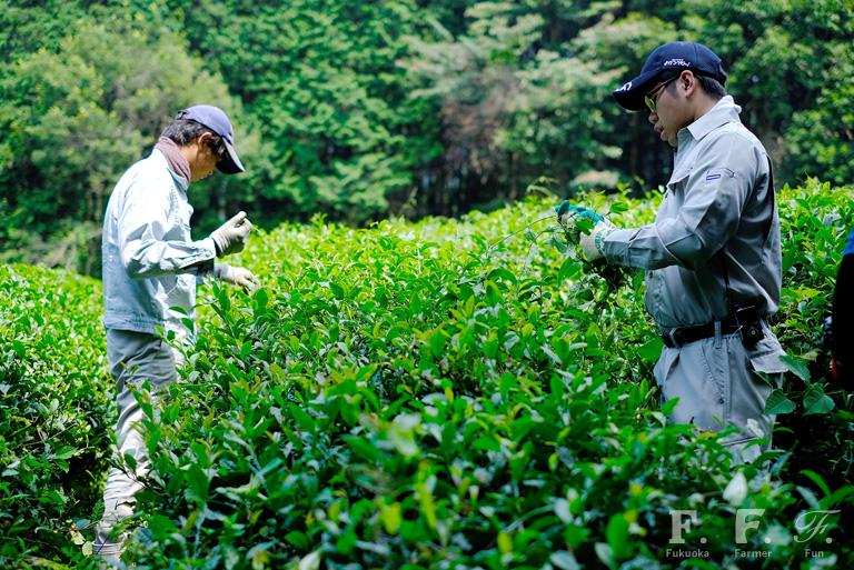 お茶に絡まる草を丁寧にとっていくあぐり倶楽部のメンバー