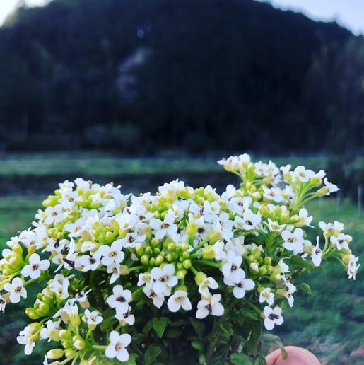 馬場ファームが栽培する「クレソン」の花