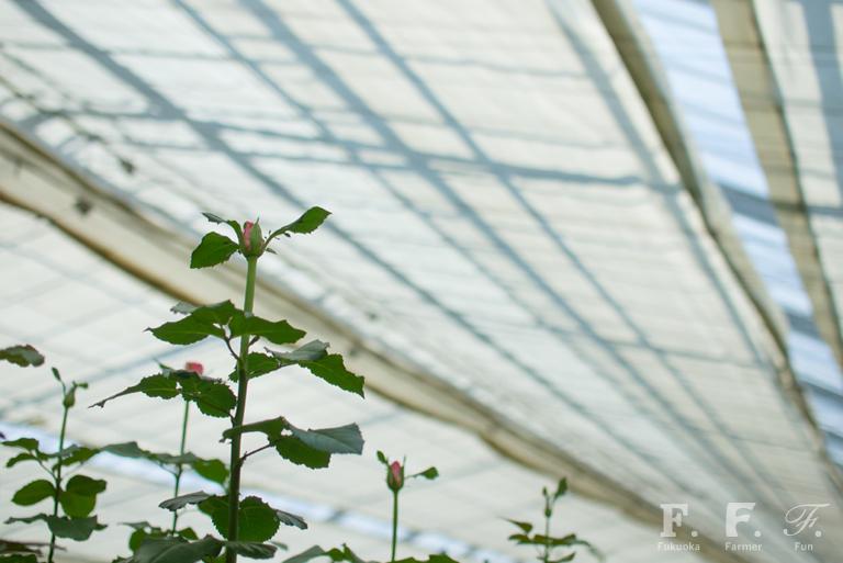 収穫待ちのバラの花