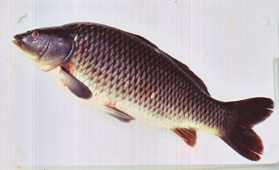 郡山は鯉生産量全国第一位