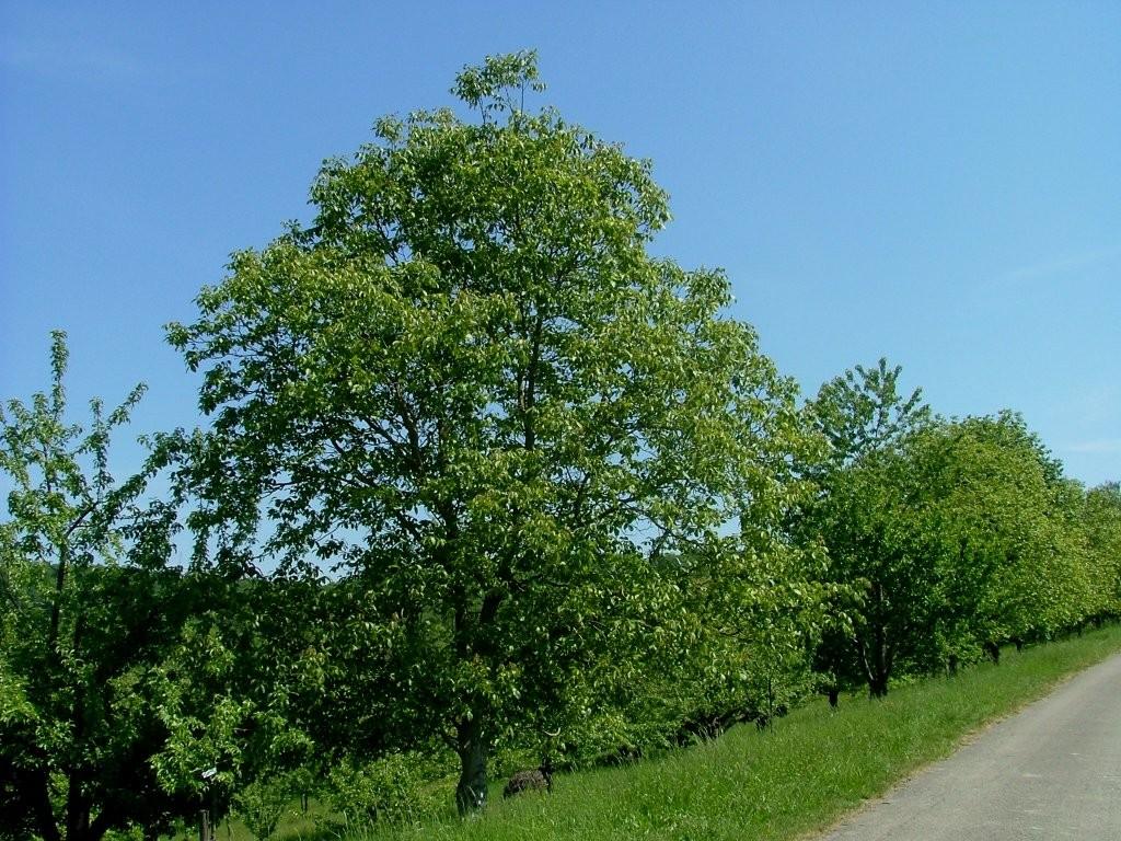 Wieder Streuobstwiesen, hier auch mit Nussbäumen.