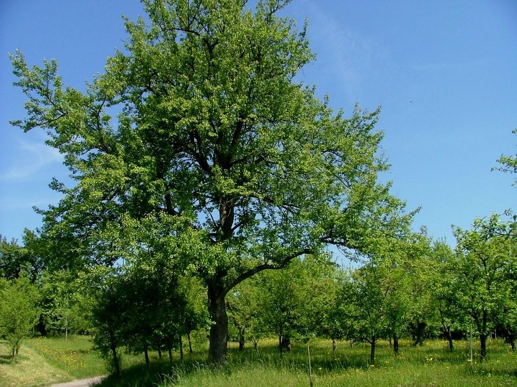 Ein schöner Birnbaum.