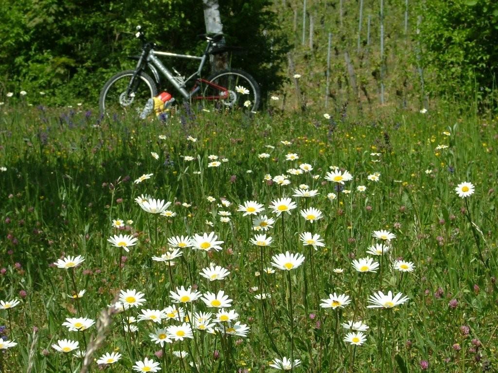 Unterhalb der Weinberge entlang ist etwas versteckt eine schöne Blumenwiese mit Margariten.
