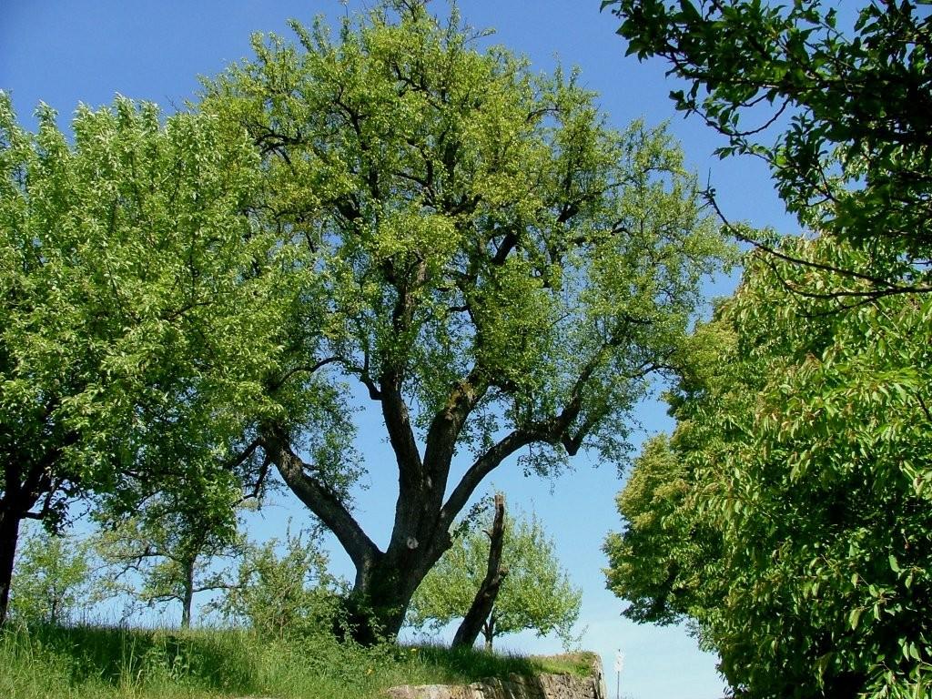 Hier steht auch ein alter Birnbaum.