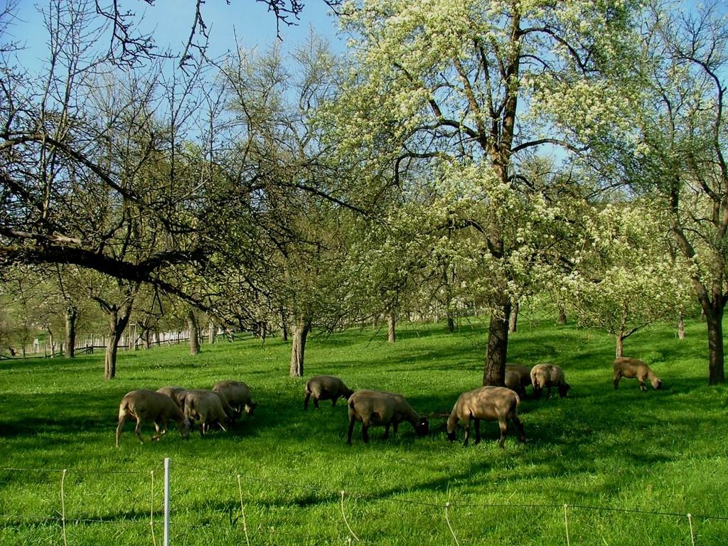 Schafe in Ochsenbach