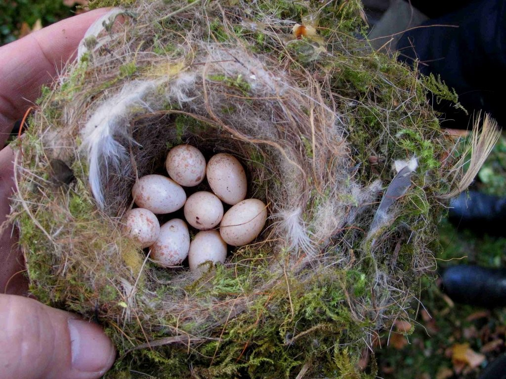 Nistkastenreinigung 2010 - Verlassenes Nest mit Eier