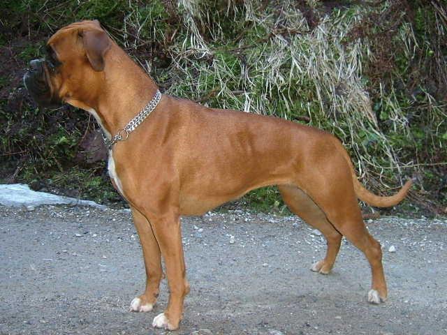 Brisby - mein Traumhund